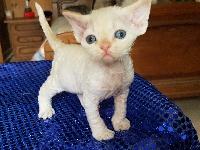 of my dream's cats - Chaton disponible  - Devon Rex