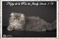 La Ria Du Jaudy - Chaton disponible  - Persan