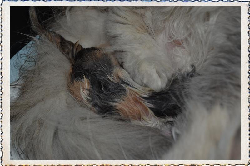 La Ria Du Jaudy - Persan - Portée née le 20/08/2013