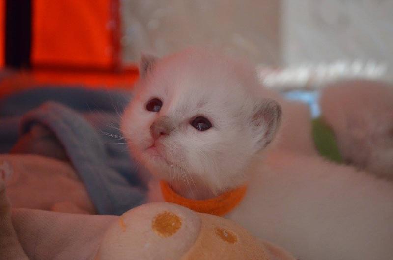 CHATON collier orange -