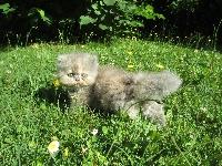 Odette du Bleu Médoc - Exotic Shorthair