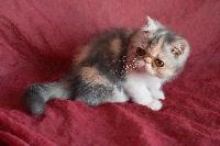 exotic blue tortie tabby et blanc - Exotic Shorthair