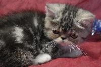 black silver tabby et blanc RESERVE - Exotic Shorthair