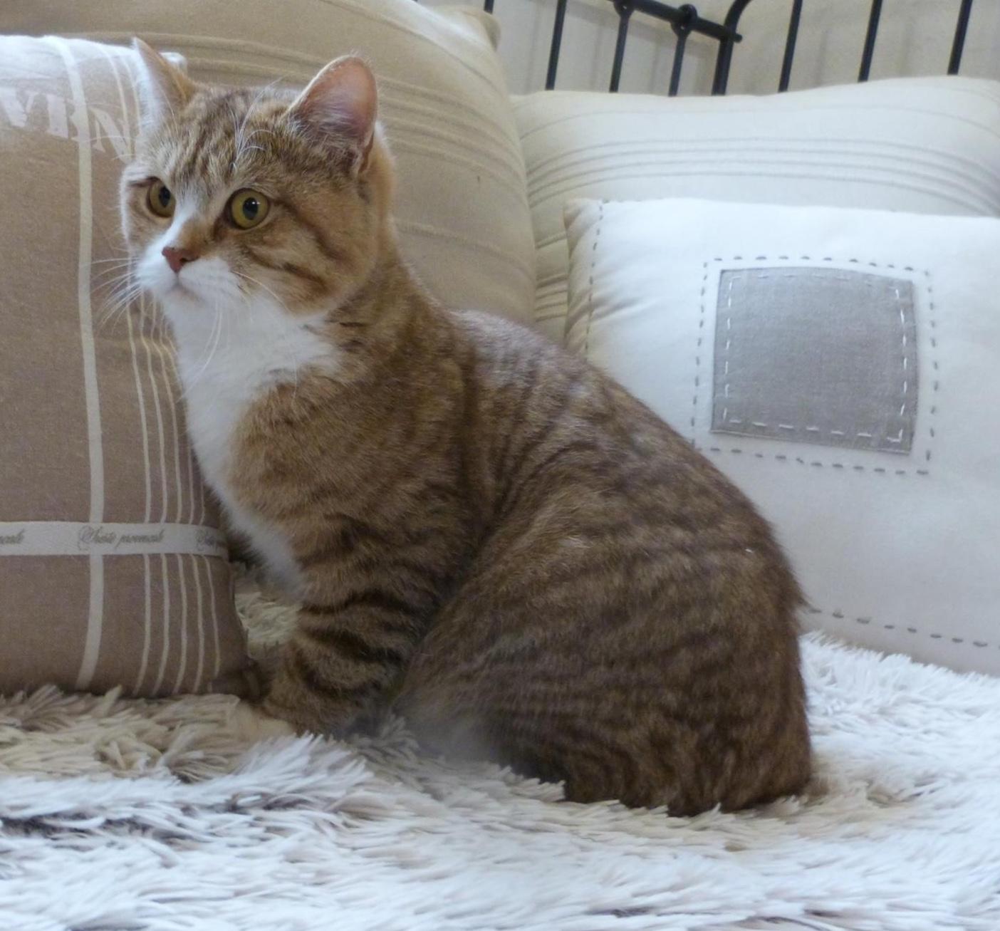 elevage du coeur des terres eleveur de chats british shorthair et longhair. Black Bedroom Furniture Sets. Home Design Ideas