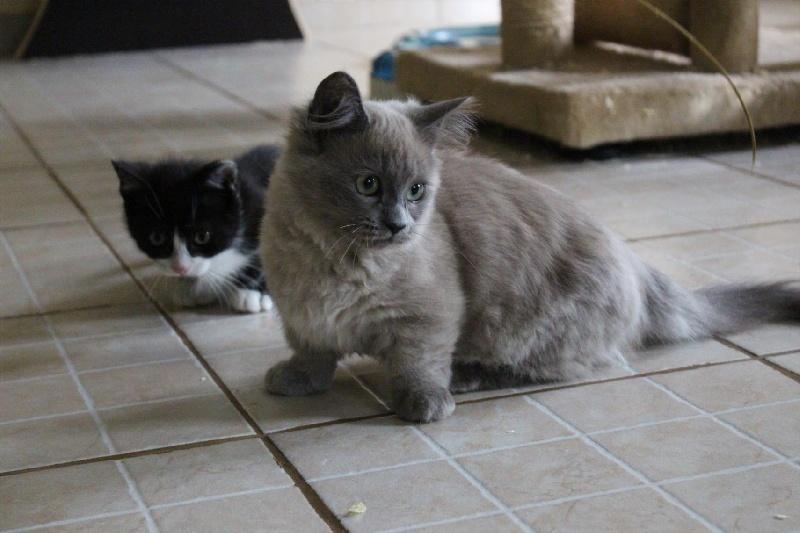 Elevage de la petite oriere eleveur de chats munchkin - Prix chat munchkin ...