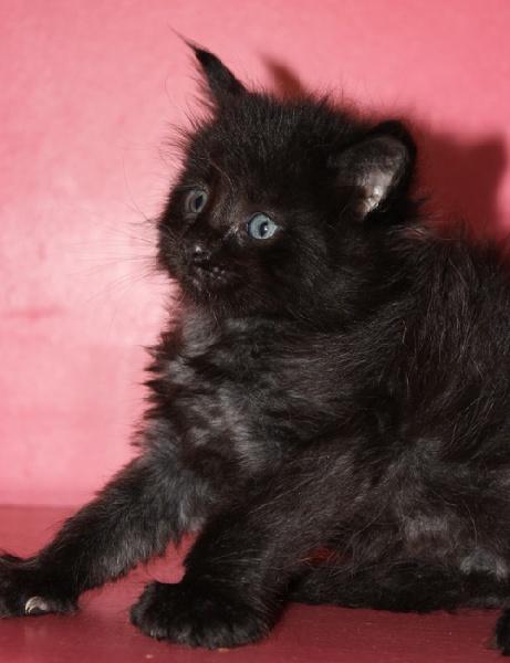 noir polydactyle -