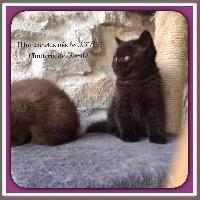 Marionnette  noire shorthair