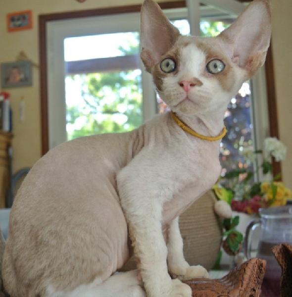 Elevage des 3 ginkgo eleveur de chats devon rex - Chaton devon rex ...