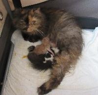 Persan - 2 magnifiques chatons persans mâles - Du Lous Coudeyre
