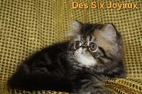 Des Six Joyaux - Chaton disponible  - Persan