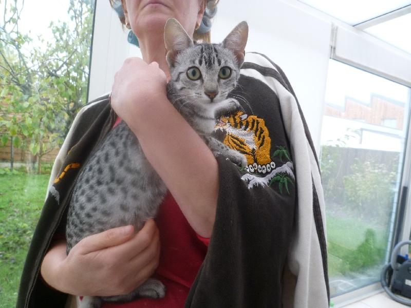 Elevage du jardin de bubastis eleveur de chats mau egyptien for Ca vient du jardin