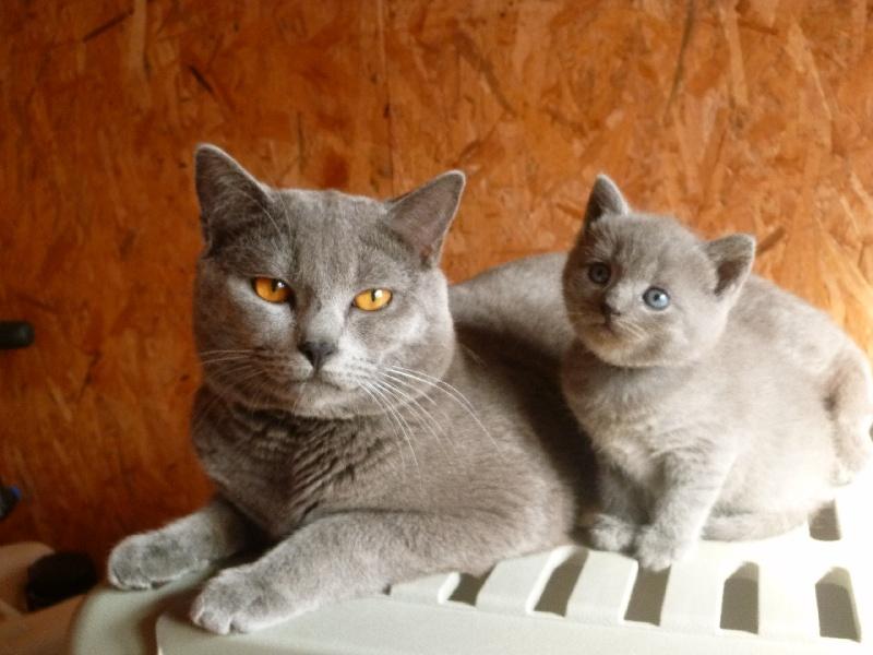 chaton chartreux m le disponible en pays de la loire 44 loire atlantique toutes les portees. Black Bedroom Furniture Sets. Home Design Ideas