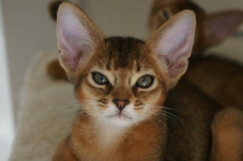 elevage abyfelis eleveur de chats abyssin