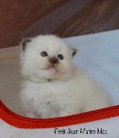 Sacré de Birmanie - Très jolis chatons Sacrés de Birmanie  - maître mào