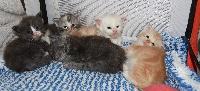 Maine Coon - Jolis chatons silver/smoke recherche bonne famille - Calvin Coon's