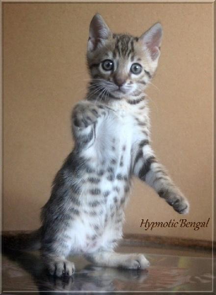 F7 Hypnotic'Bengal O'Gandhi