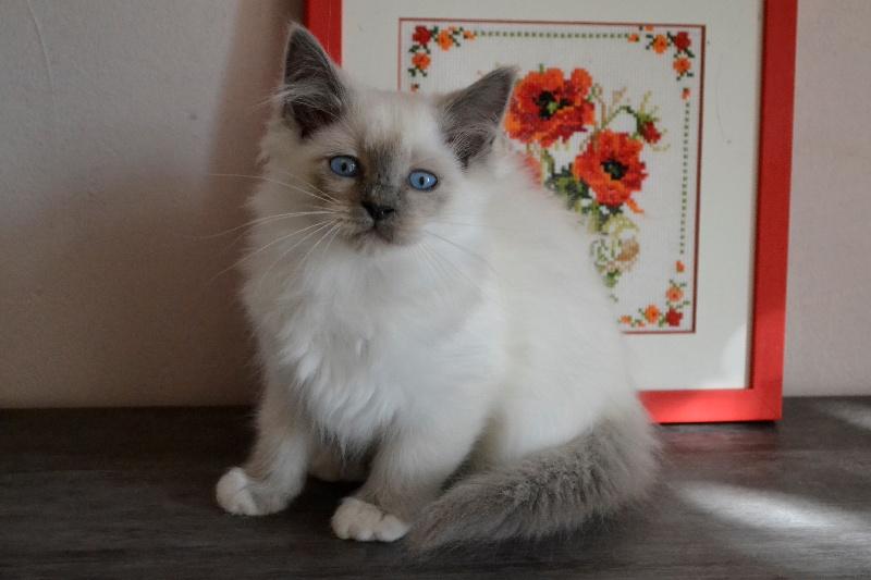 Nana. Femelle blue point. -