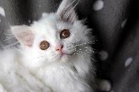 Olympe - British Shorthair et Longhair