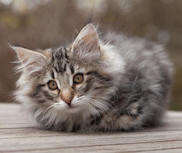 les leveurs de chats et de chatons de race s 39 unissent pour chats de france. Black Bedroom Furniture Sets. Home Design Ideas