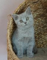 CHATON n° 1 - British Shorthair et Longhair