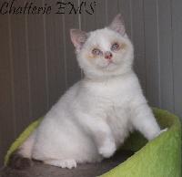 Em's - Chaton disponible  - British Shorthair et Longhair