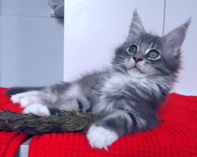 chaton maine coon mary lu femelle disponible en haute normandie 76 seine maritime toutes. Black Bedroom Furniture Sets. Home Design Ideas