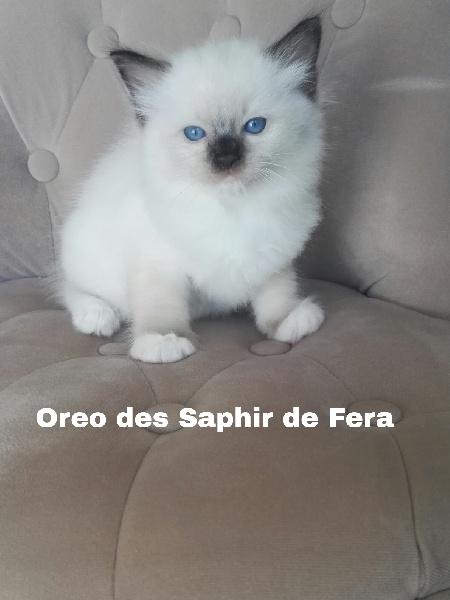 Des Saphir De Fera - Ragdoll - Portée née le 04/06/2018