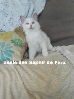 Des Saphir De Fera - Chaton disponible  - Ragdoll