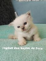 Ragdoll - Chaton Ragdoll LOOF ( tel:06.33.55.75.36) - Des Saphir De Fera