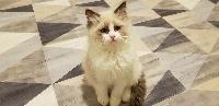 Ragdoll - Cat'Charmer