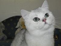 Nessy du cèdre enchanté - British Shorthair et Longhair