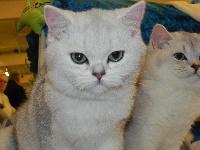 Nilda silver du Cèdre Enchanté - British Shorthair et Longhair