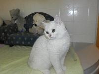 Lucien i LULU du cèdre enchanté - British Shorthair et Longhair