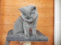Nook bleu du cèdre enchanté - British Shorthair et Longhair