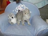 Nuage gris du cèdre enchanté - British Shorthair et Longhair
