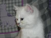 Nice look du Cèdre Enchanté - British Shorthair et Longhair