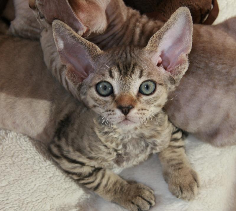 Chatons de la race devon rex disponibles sur chatons de france - Chaton devon rex ...