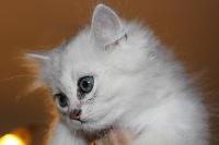 Nem - British Shorthair et Longhair