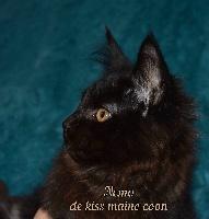 De Kiss Maine Coon - Chaton disponible  - Maine Coon