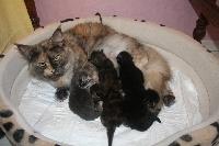 Maine Coon - adorable chatons maine coon disponible à la réservation - Des Chats de Kerma