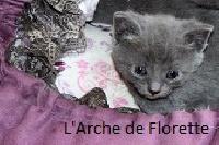 De L'Archedeflorette - Chaton disponible  - Chartreux
