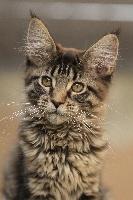 De Cat Wood Maine - Chaton disponible  - Maine Coon