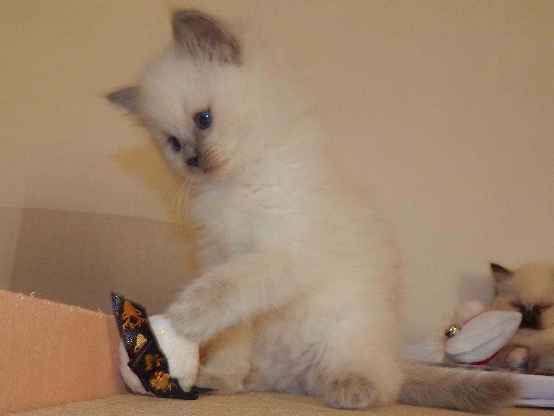 Never des Chalomcats -
