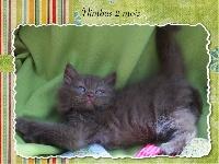 NIMBUS - British Shorthair et Longhair