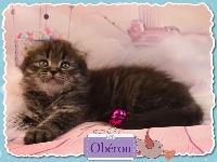 OBERON - Highland Fold