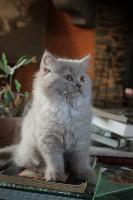 NICOTIN - British Shorthair et Longhair