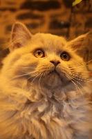 NOTHING ELSE de Souricat's .... - British Shorthair et Longhair