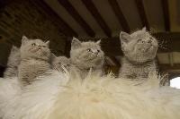 British Shorthair et Longhair - 7 chatons shorthair et longhair lilas et fawn - De Souricat's