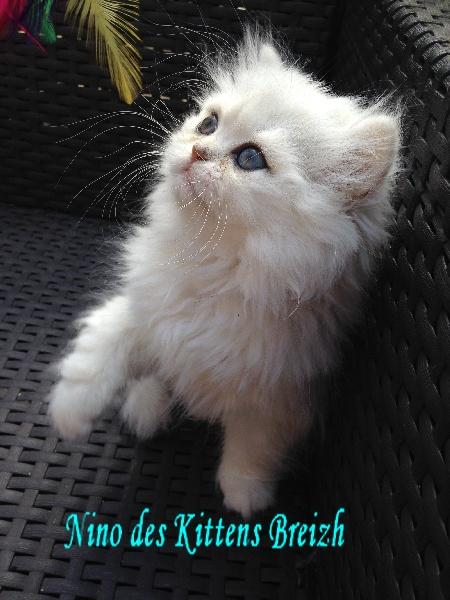 NINO des Kittens Breizh -