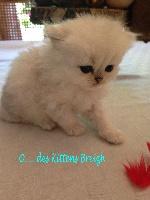 Des Kittens Breizh - Chaton disponible  - Persan